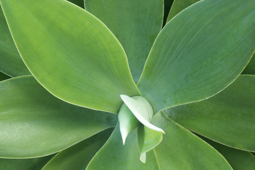 Agave attenuate plant maturing and growing.