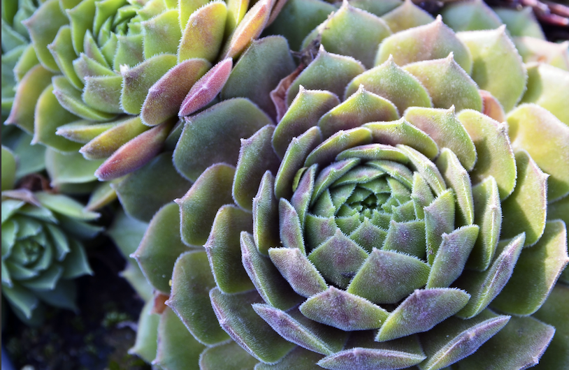 Echeveria elegans is a tropical plant perfect for around pool areas.