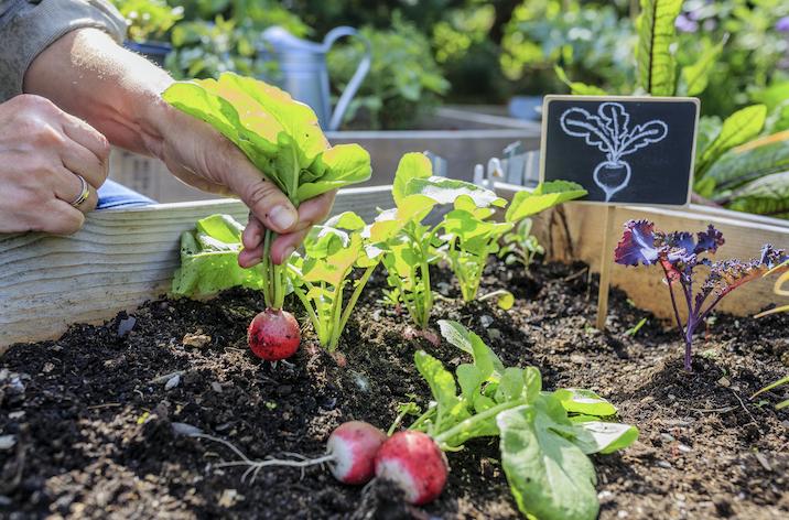 Harvesting a mini vegetable garden.
